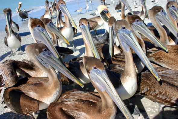 Gedildig warten die Pelikane vor den Toren des Seabird Sancturys auf ihre Fütterung. (Foto Karsten-Thilo Raab)