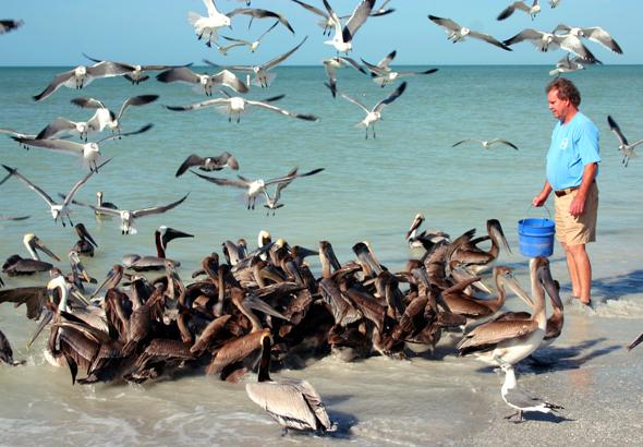 Sobald Ralph Heath mit einem Eimer voller Fische den Strand betritt, fliegen die Pelikane scharenweise ein. (Foto Karsten-Thilo Raab)
