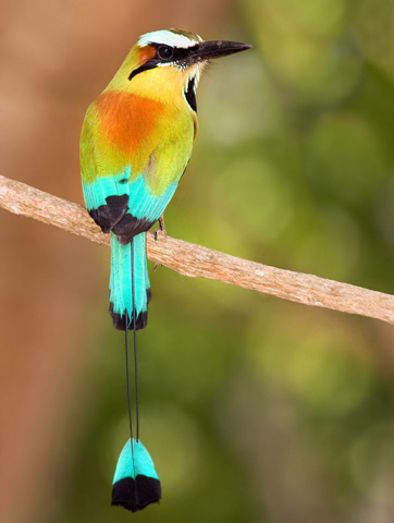 "In den Wäldern El Salvadors findet man zudem den äußerst seltenen ""Torogoz"", der Nationalvogel des Landes. (Foto CATA)"
