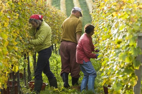 Rund um Müllheim blüht - wie hier am Tuniberg - im wahrsten Sinne des Wortes die Weinkultur. (Foto Stadt Müllheim)