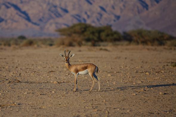In und um die Negev findet sich eine überaus lebhafte Fauna.