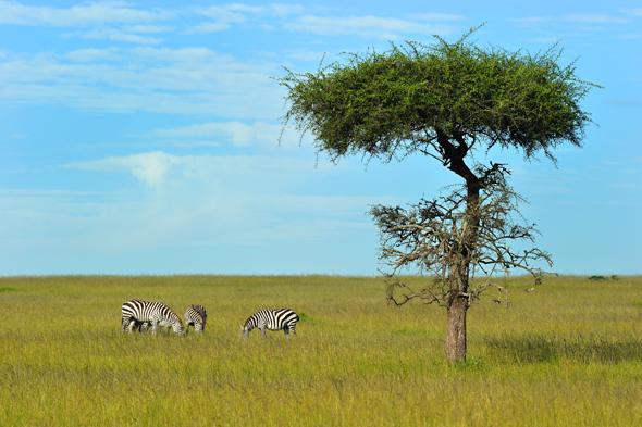 Auch Zebras sind für die Löwen ein willkommenes Fressen. (Fotos Kenya Tourist Board)