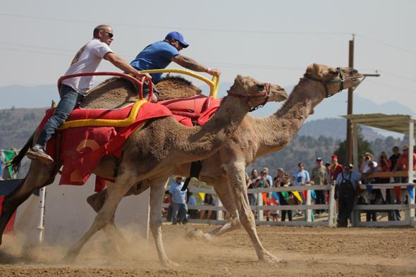 Ungewöhnliches Event im Wüstenstaat: Das Kamelrennen in Virginia City.