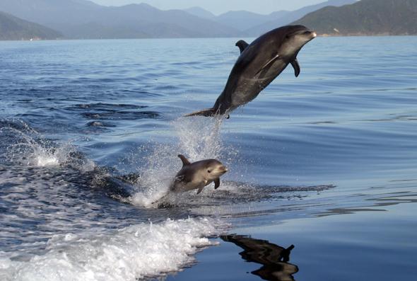 Faszinierend zu beobachten: Neuseelands Flachnasendelfine. (Foto TNZ)