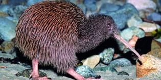 Tierische Neuseeland – auf Tuchfühlung mit Kiwis, Pinguinen, Wale und Albatrossen