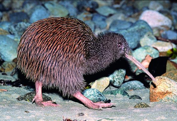 Mit etwas Glück auf Stewart Island zu sehen: Neuseelands Wappentier, der Kiwi. (Foto TNZ)
