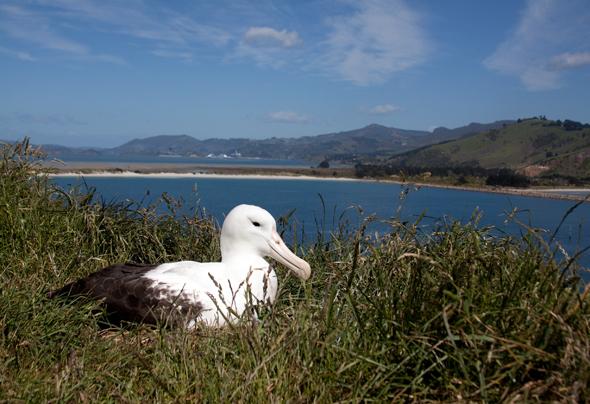 Roya Albatros_auf_der_Otago_Halbinsel©TNZ_Paul_Sorrell
