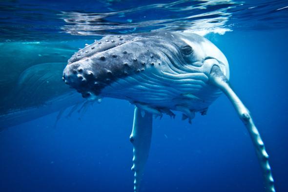 In den Gewässern um Tonga tummeln sich je nach Saison riesige Buckelwale.