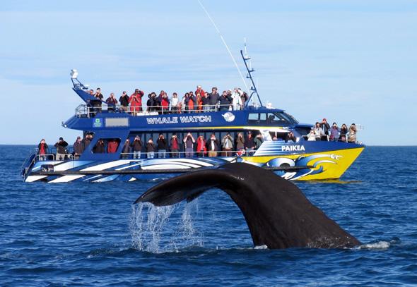 Die Küste vor Kaikoura auf der Südinsel ist bei vielen Meerestieren beliebt - vor allem Walen. (Foto TNZ)