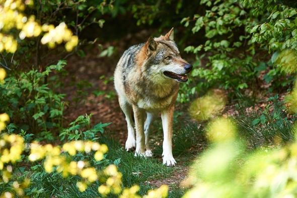 Im Nationalparkzentrum Falkenstein tummeln sich auch junge Wölfe. (Foto Marco Felgenhauer)