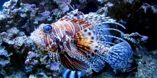 Feuerfisch-Mahl auf Aruba zur Rettung der Karibik