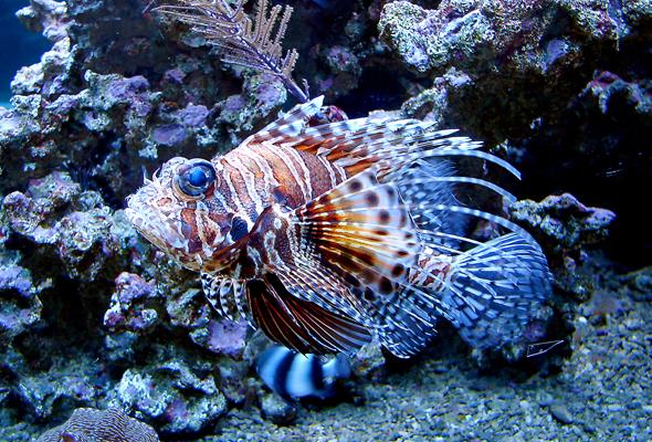 Hübsch anzusehen, aber ungeliebt und überaus gefräßig: der Feuerfisch. (Foto Yvonne Gruber/Pixelio)