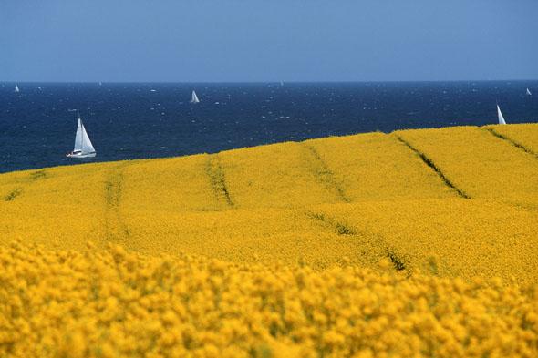 Gelber Raps, blaues Meer: Diese Farbspiele sind charakteristisch für die Ostseeküste entlang der Eckernförder Bucht.