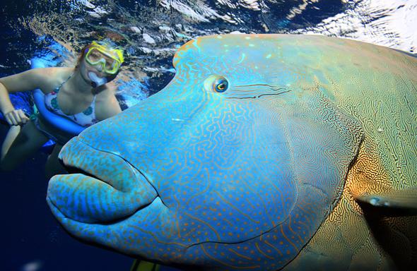 Das Hautbild zeigt, warum der gutmütige Lippfisch auch Maori Wrasse genannt wird. (Foto Karsten-Thilo Raab)