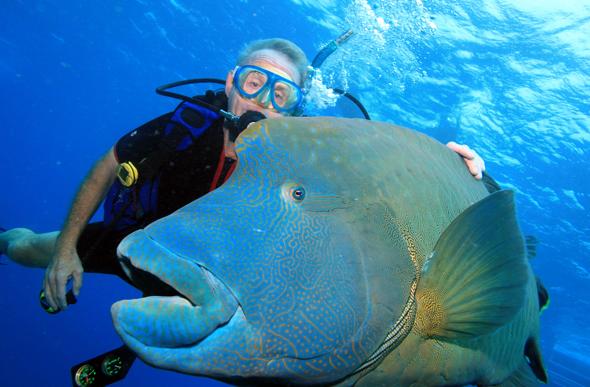 Gigant auf Kuschelkurs: Napoleon-Lippfisch Marvin posiert für ein unvergessliches Erinnerungsfoto. (Foto Karsten-Thilo Raab)
