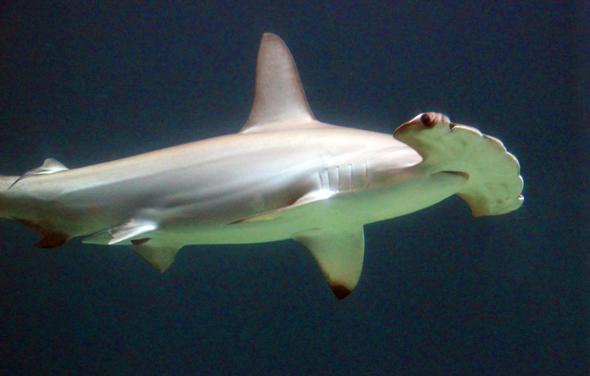 Lieber nur aus der Distanz zu bewundern: ein Hammerhai am Great Barrier Reef. (Foto Karsten-Thilo Raab)