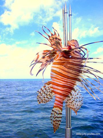 Auf Aruba geht man nun neue Wege, um den Feuerfisch zu bekämpfen: man isst ihn auf.