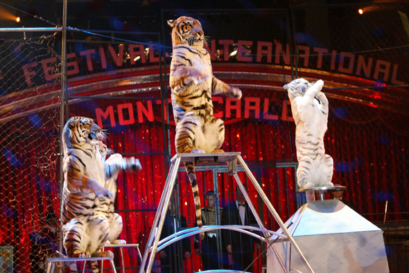 Selbst die Tiger zeigen in Monte-Carlo ihr artistisches Können. (Fotos Monaco Tourismus- und Kongressbüro)