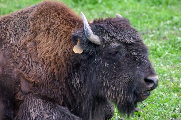 Im Yellowstone Nationalpark in den USA wurde eine 16-jährige von einem Bison aufgespießt. (Foto Karsten-Thilo Raab)