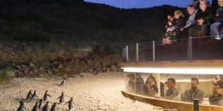 Pinguin-Parade auf Augenhöhe auf Phillip Island