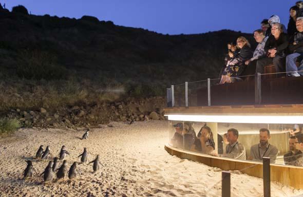 Auge in Auge mit den Pinguinen - auf Phillip Island ist dies nun dank eines unteriridschen Beobachtungsstandes möglich.
