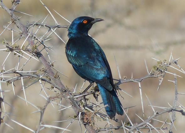 Der Glanzstar ist in Namibias Wildness häufig anzutreffen.