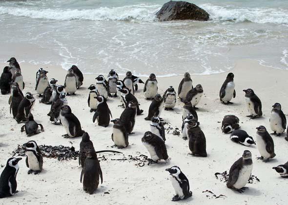 Rund 35.000 Pinguine tummeln sich auf Philip Island.
