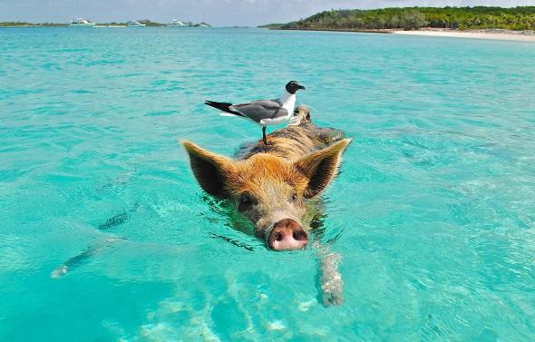Auf den Bahamas fällt es im wahrsten Sinne des Wortes nicht schwer, sich sauwohl zu fühlen.