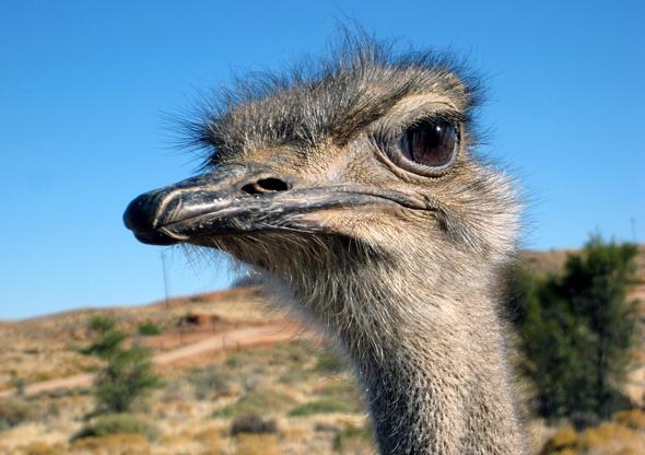 Auch Vogel Strauß ist in Namibia auf seinen langen Beinen unterwegs.