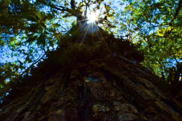 Einige Baumriesen in diesem Teil von Kolumbien werden bis zu 60 Meter hoch.