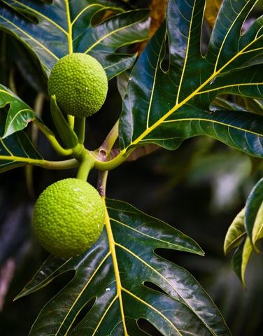 Die Wunderpflanzen in Hawaii sind in Europa nur wenigen bekannt.
