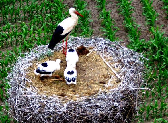 Tierisch nett; eine Storchenfamilie unterwegs auf der Storchenroute. (Foto Katharina Büttel)