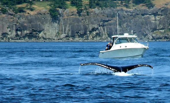 Walflucke auf halb acht! Orcas vor Vancouver Island. (Foto Katharina Büttel)