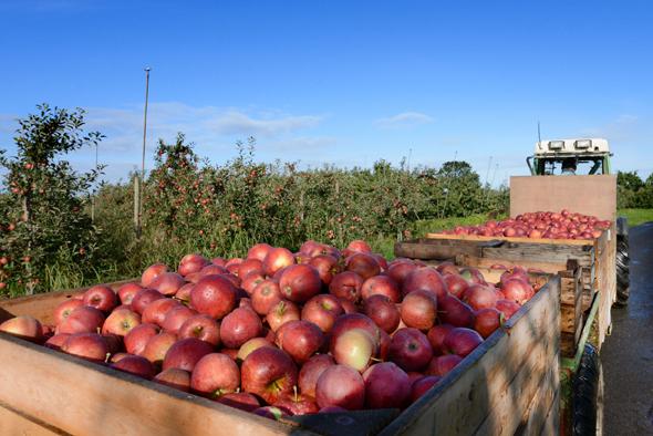 Äpfel frisch gepflückt von der Plantage. Mit einer Apfelbaumpatenschaft kann man die Früchte sogar selbst pflücken. Besonders fruchtige Erlebnisse bieten Hofführungen, Apfelkistenexpressfahrten oder das Apfeldiplom. (Foto: Martin Elsen)