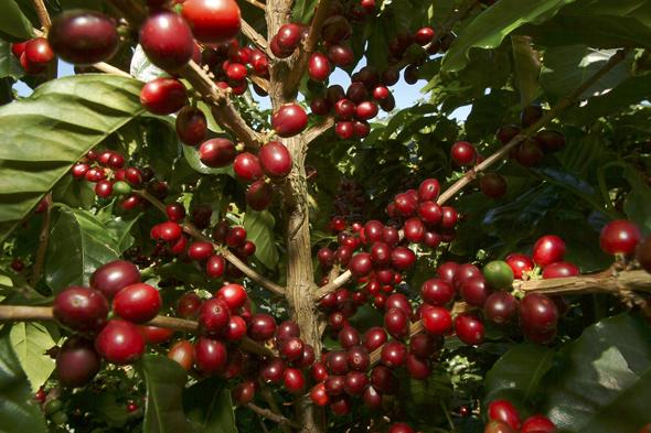 Für ungeübte Augen kaum zu erkennen, welche kosbares Gut die Kaffeekirschen beinhalten.