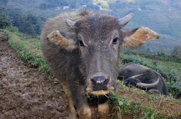 Aufgeschlossen und neugierig gibt sich auch dieses Wasserbüffel-Kalb bei Lao Chai. (Foto Karsten-Thilo Raab)