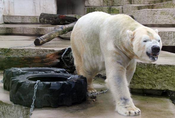 Die Stars im Karlsruher Zoo sind die mächtigen Eisbären. (Foto Karsten-Thilo Raab)