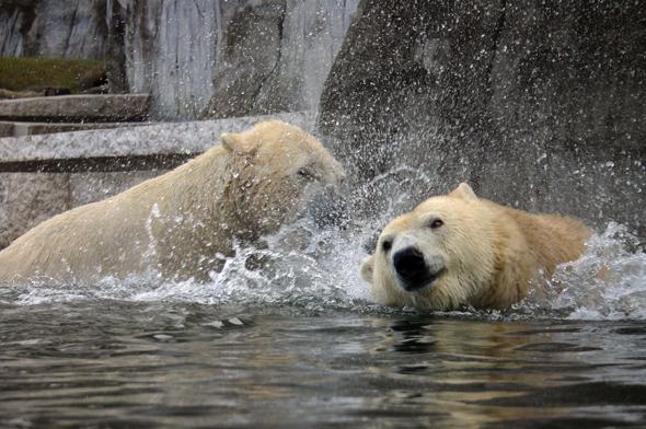 """Bestens gelaunt zeihen die mächtigen Eisbären gerne eine """"Spieleshow"""" im Wasser ab. (Foto Karsten-Thilo Raab)"""