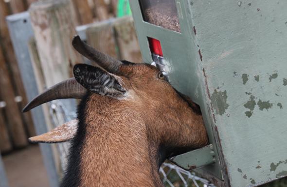 Frech kommt weiter: bei einem kleinen Ausflug stürmt die Ziege direkt zum Futterautomaten. (Foto Karsten-Thilo Raab)