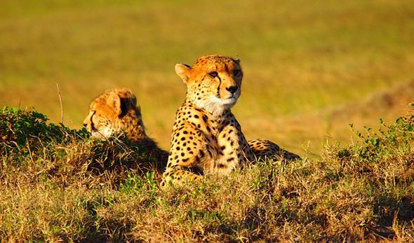 Ein Stück Kenia für Naturliebhaber: Geparden im Gras.