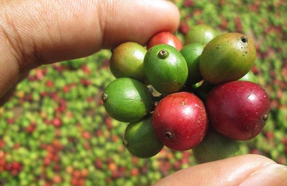 Die perfekte Kaffeebohne zu finden, ist in vielen Teilen Zentralamerikas nicht sonderlich schwierig.