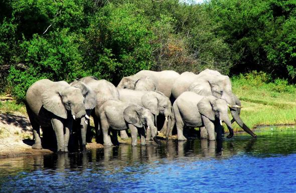 Eine durstige Elefanten-Herde am Ufer des Linyati Rivers. (Foto Katharina Büttel)