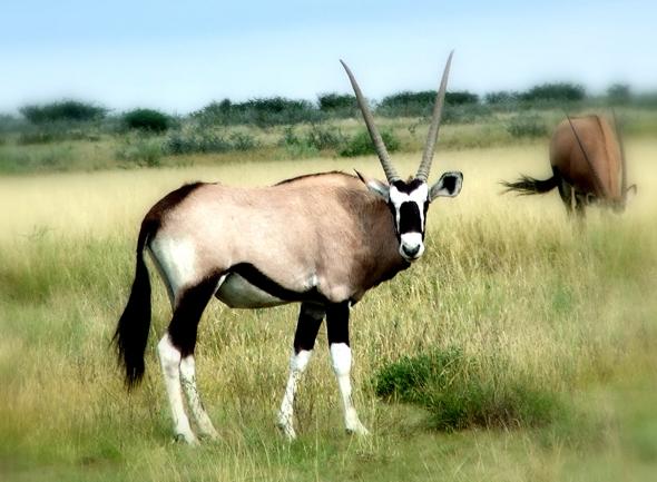 Ein Oryxantilope in der Kalahari. (Foto Katharina Büttel)