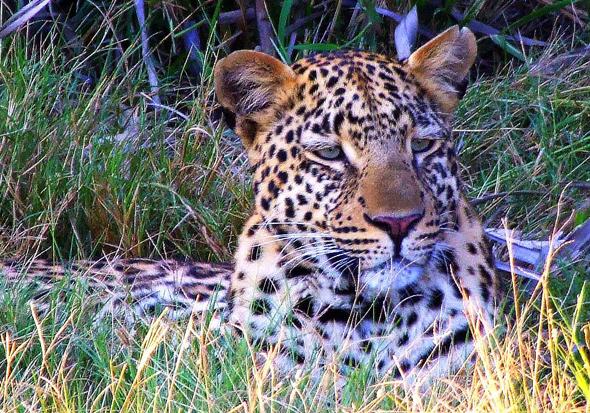 Seltener Anblick: ein Leopard aus der Nähe. (Foto Katharina Büttel)
