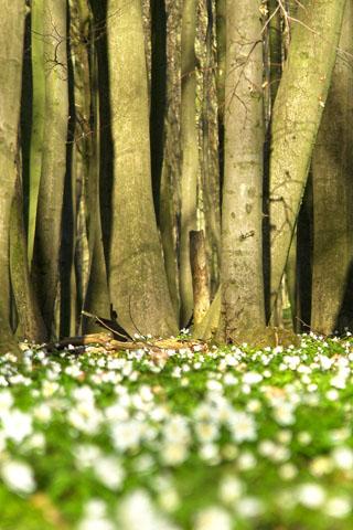 Ein Teppich aus Buschwindröschen bedeckt den Waldboden im Nationalpark Jasmund. (Foto: Lehmann)