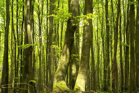 Mit dem ersten zarten Blattgrün begrüßen die Buchenwälder auf Rügen den Frühling. (Foto: Lehmann)