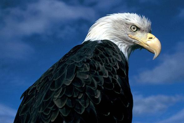 Auch die mächtigen Weißkopfseeadler sind im Grand Canyon zu Hause.