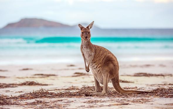 Strand-Feeling einmal anders: ein Känguru am Strand der Lucky bay. (Foto Grag Snell)