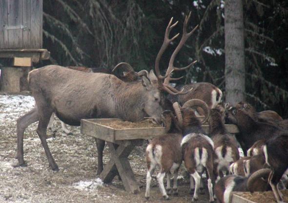 Erst machen sich die Mufflons breit, dann folgt auch der König des Waldes. (Foto Karsten-Thilo Raab)