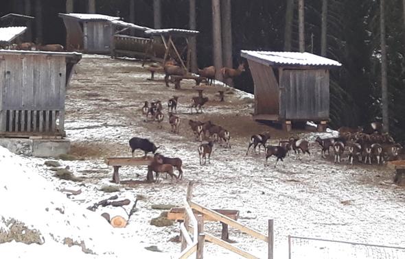 Nach etwa einer halben Stunde verschwinden die nun gesättigten Tiere wieder im Wald. (Foto Karsten-Thilo Raab)